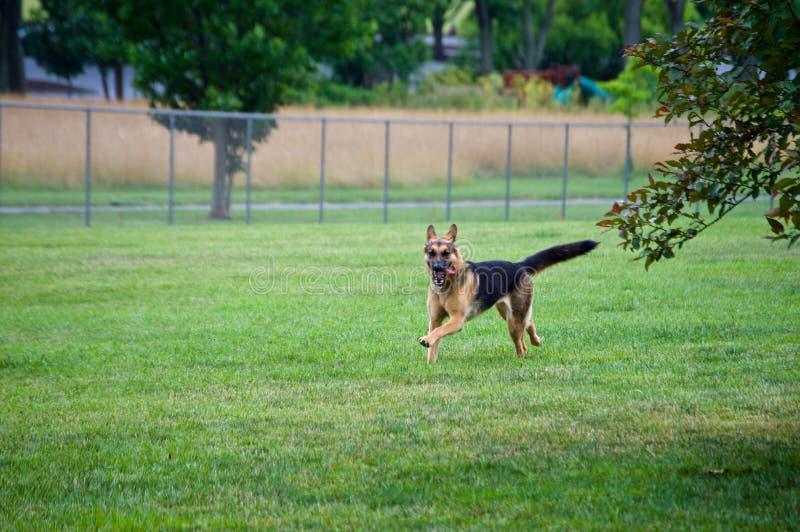 跑在狗公园的德国牧羊犬 库存图片