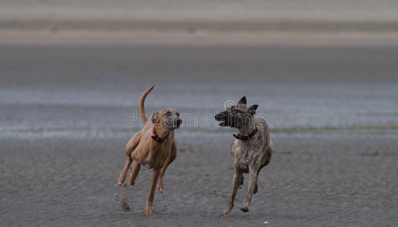 跑在狗友好的沙滩的Whippets 库存图片