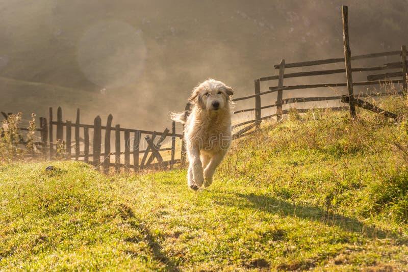 跑在绿草的早晨的美丽的白色狗 库存图片
