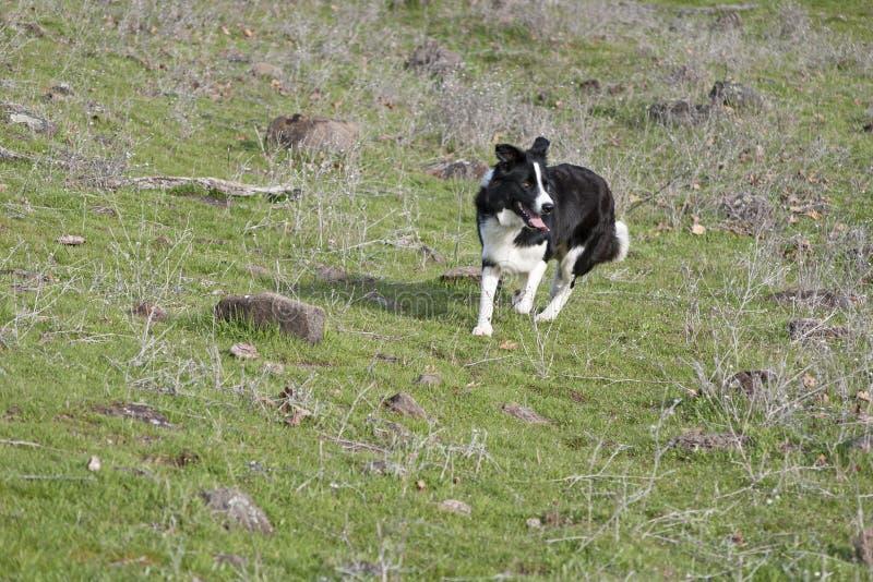 跑在草甸的博德牧羊犬环绕绵羊 图库摄影