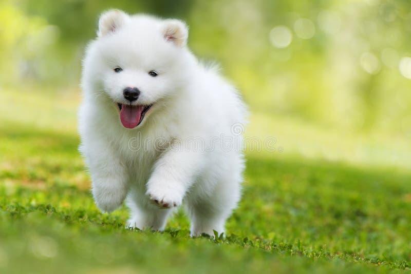 跑在草甸的萨莫耶特人小狗 免版税图库摄影