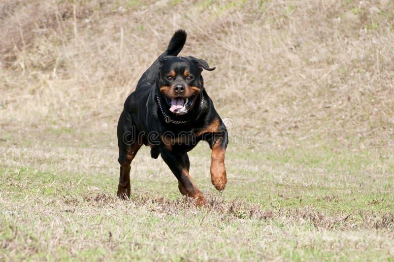 跑在草的Rottweiler 免版税库存照片