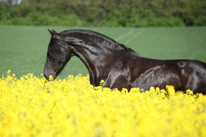 跑在菜子领域的惊人的黑白花的马 库存图片
