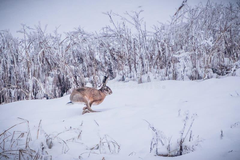 跑在雪天兔座europaeus的狂放的棕色野兔 免版税库存图片