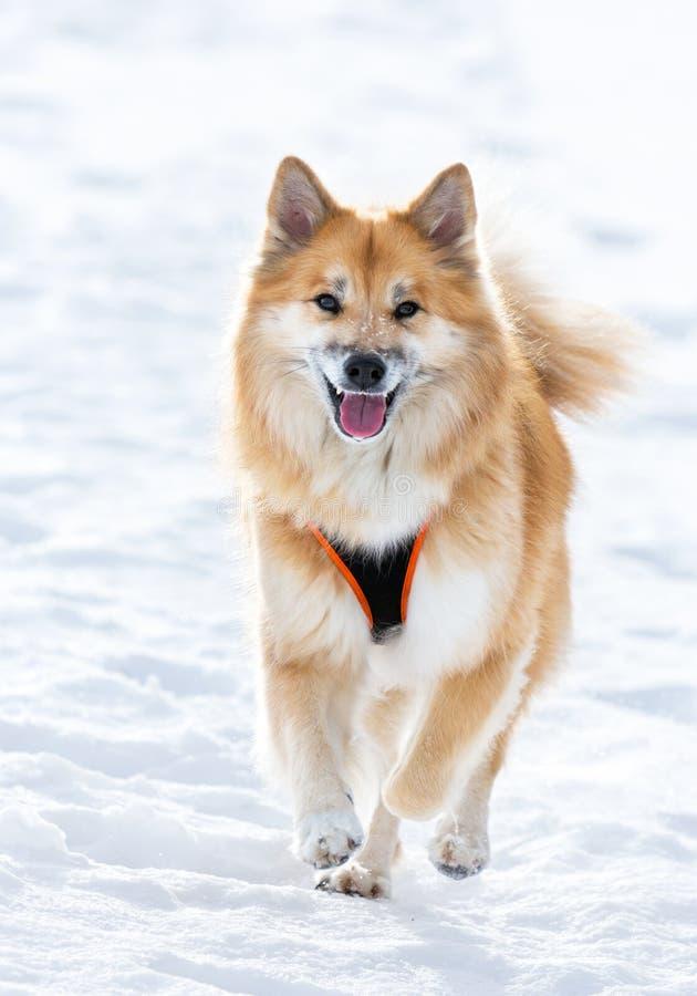 跑在雪的愉快的狗 免版税库存照片