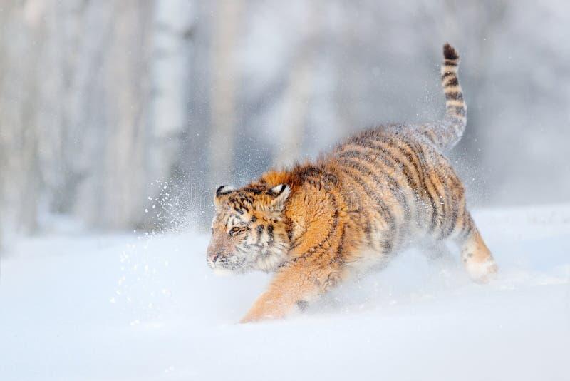 跑在雪的阿穆尔河老虎 行动野生生物场面,危险动物 冷的冬天, taiga,俄罗斯 与美丽的西伯利亚的雪花 库存照片