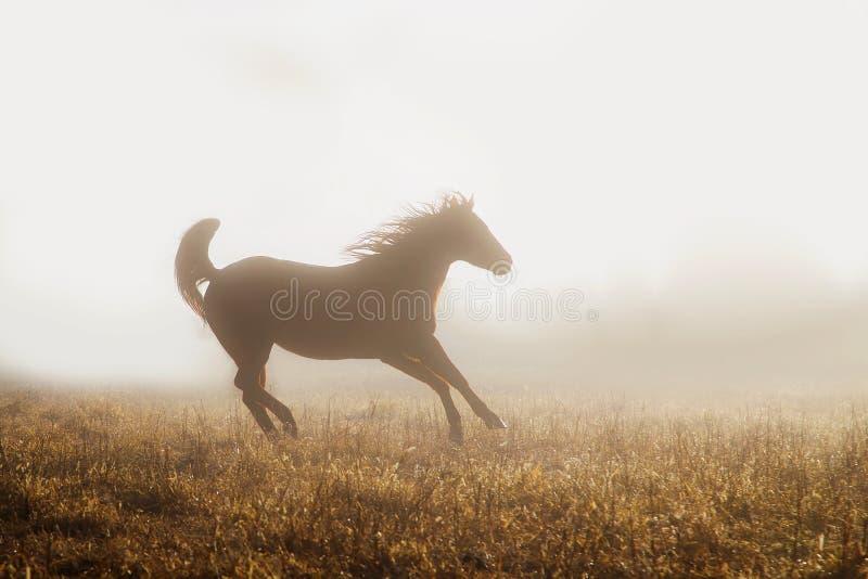 跑在雾的短距离冲刺的马 库存照片
