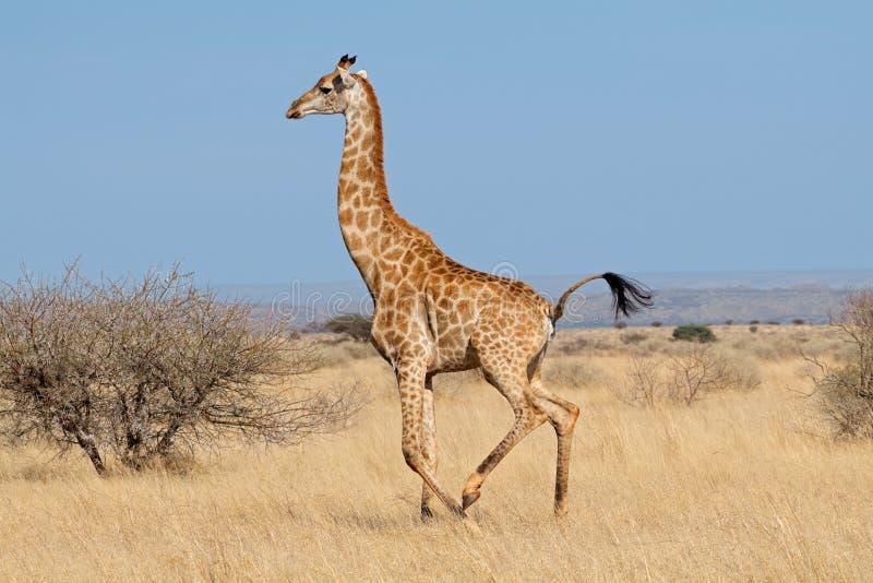 跑在非洲平原的长颈鹿 免版税库存图片