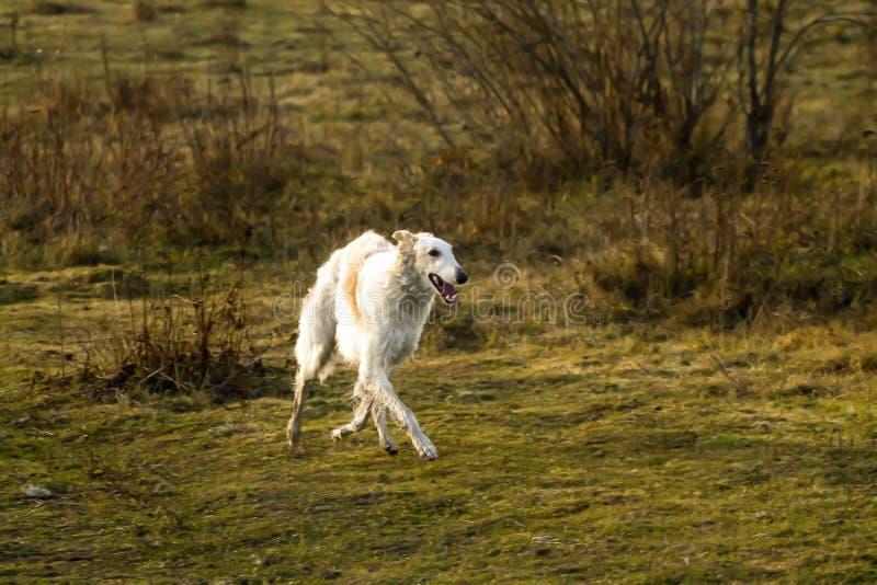 跑在领域的俄国猎狼犬狗 免版税库存图片