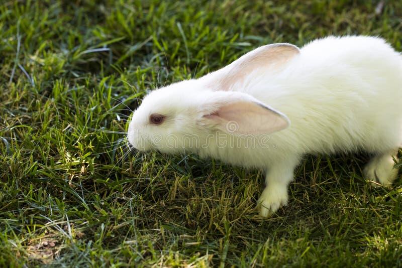 跑在领域的小的滑稽的成员在夏天群体蜜蜂里的兔子有图片
