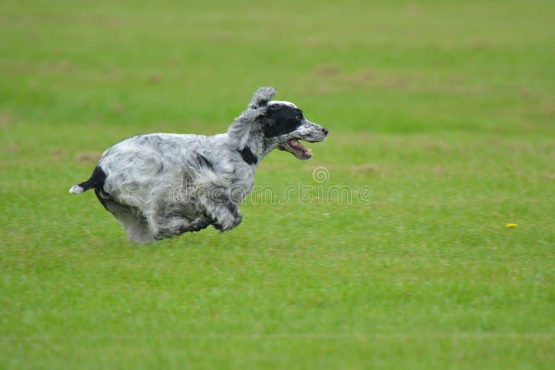 跑在领域的英国猎犬 图库摄影