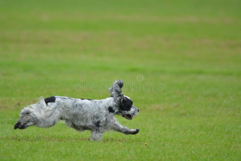 跑在领域的英国猎犬 免版税库存图片