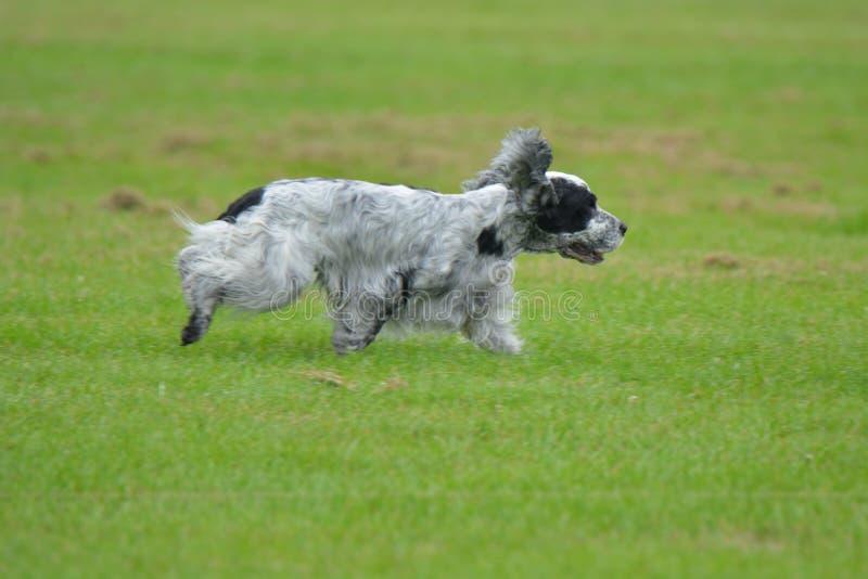 跑在领域的英国猎犬 库存图片