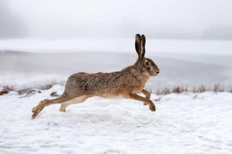 跑在领域的野兔 免版税库存照片