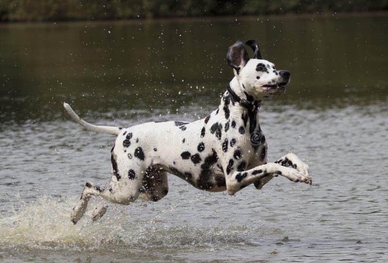 跑在水中的达尔马希亚狗 免版税库存照片