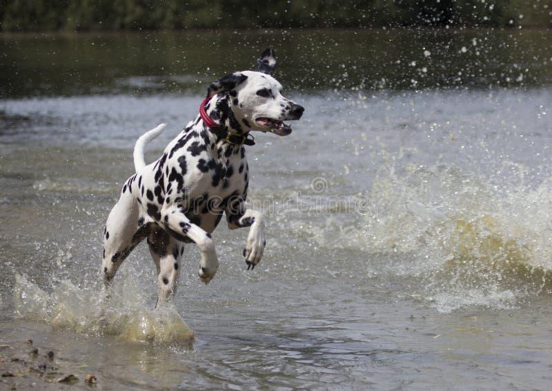 跑在水中的达尔马希亚狗 免版税图库摄影