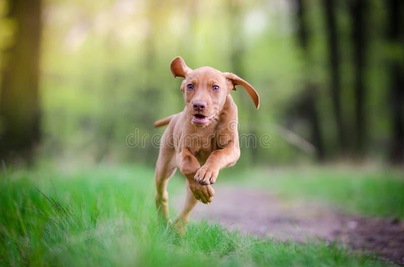 跑在forrest的vizsla狗十个星期的老小狗 免版税库存照片