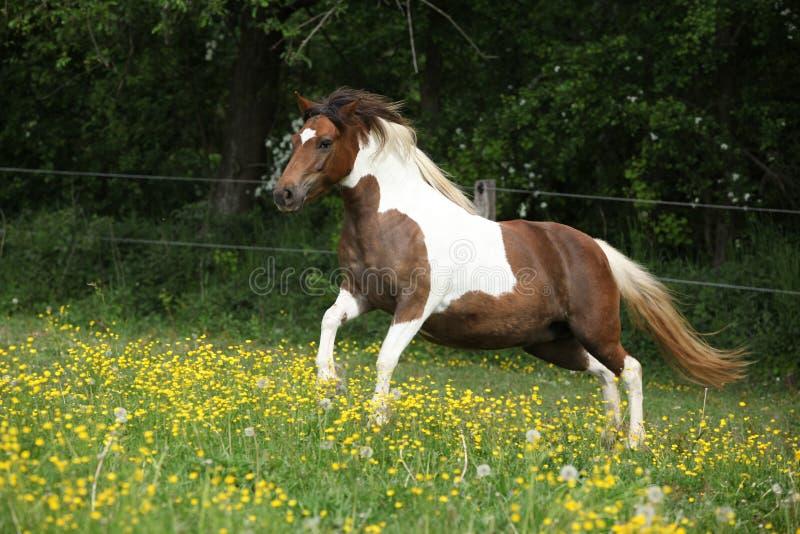 跑在pasturage的黄色花的小马 库存照片