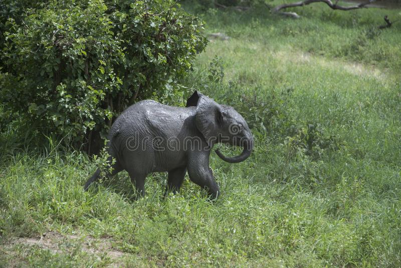跑婴孩的大象尝试和跟上母亲和大象牧群在坦桑尼亚,非洲 免版税图库摄影