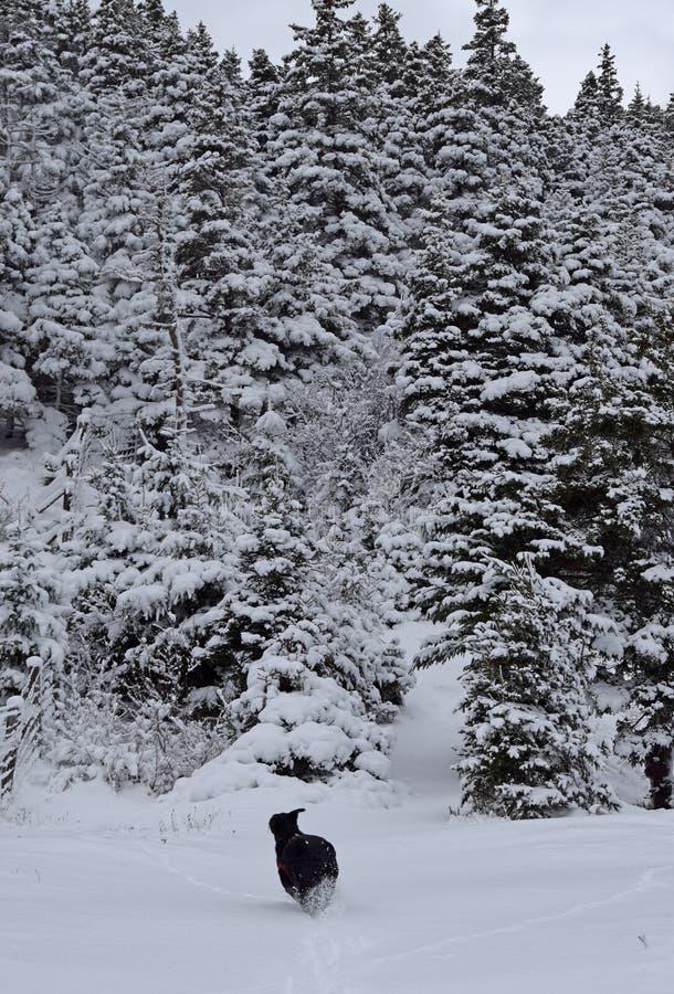 跑往一个重的积雪的冬天森林的狗 库存图片