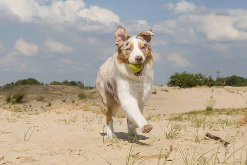 跑往与室外的球的照相机的澳大利亚牧羊人 图库摄影