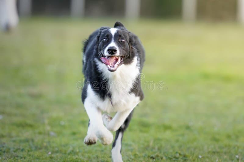 跑往照相机的博德牧羊犬小狗在草甸 库存图片