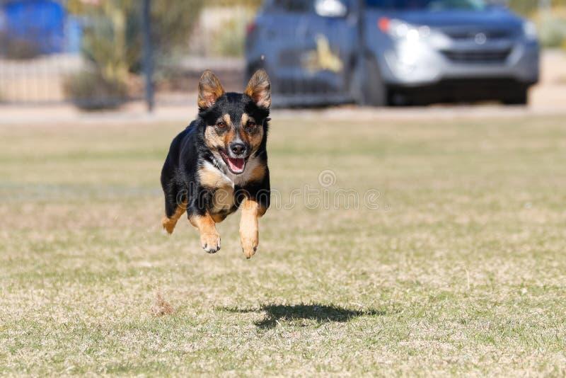 跑往照相机的狗 库存照片