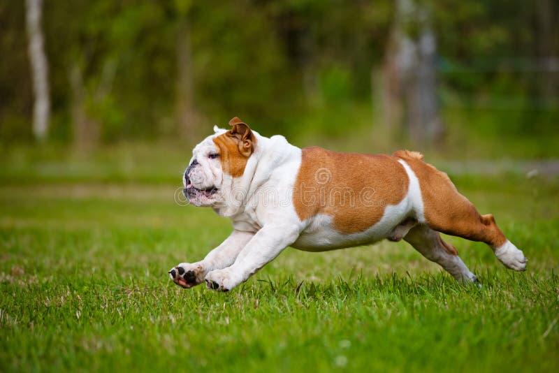 跑愉快的英国的牛头犬户外 库存图片