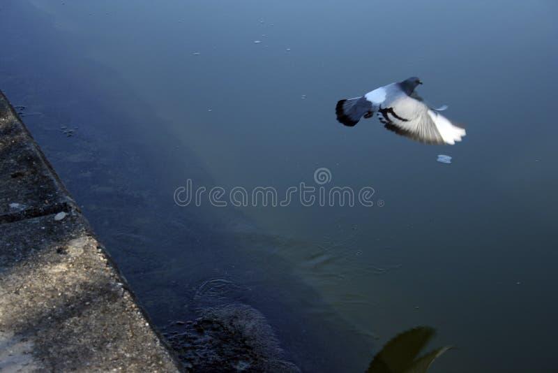 跑掉飞行的鸽子 库存图片