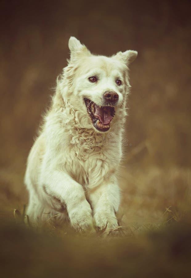 跑本质上的美丽的金毛猎犬拉布拉多狗小狗 免版税库存照片
