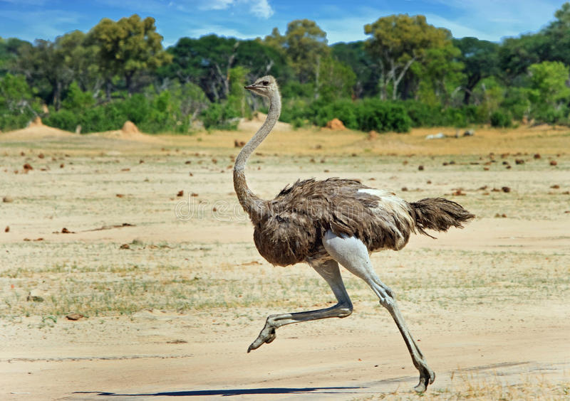 跑横跨万基平原的母驼鸟 库存照片