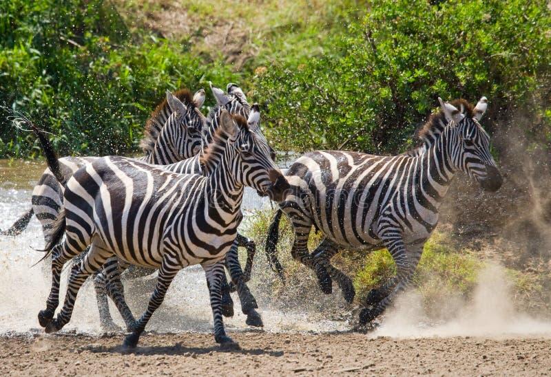 跑横跨水的小组斑马 肯尼亚 坦桑尼亚 国家公园 serengeti 马赛马拉 库存照片