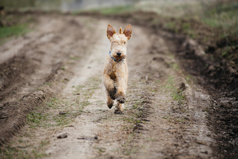 跑沿乡下公路的湿和脏狗 免版税图库摄影