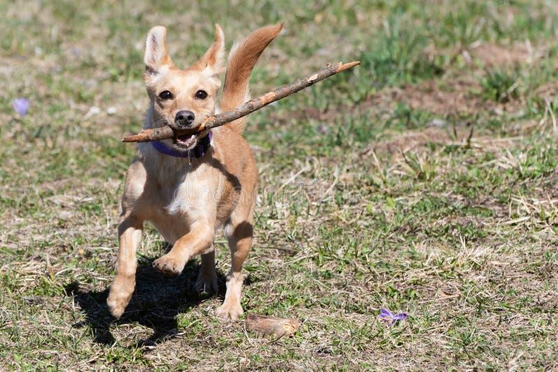跑用在它的嘴的一根木棍子的逗人喜爱的矮小的棕色狗在春天草甸 免版税库存照片