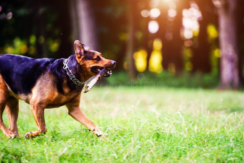 跑用在它的嘴的一根棍子的狗在草 最好的朋友 愉快的狗 ?? 免版税库存照片