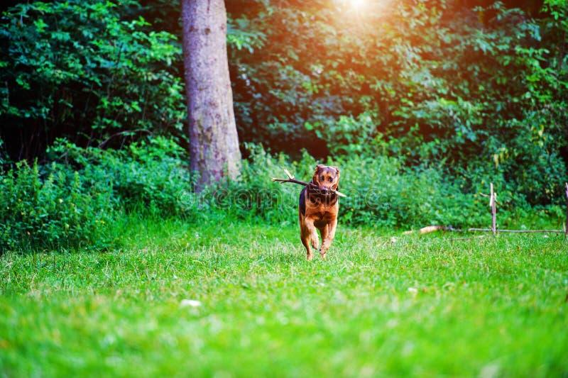 跑用在它的嘴的一根棍子的狗在草 最好的朋友 愉快的狗 ?? 免版税库存图片