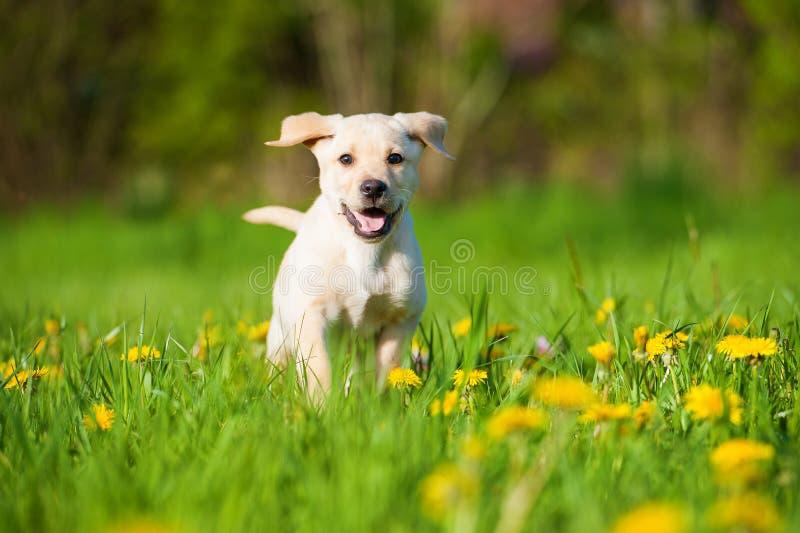 跑的拉布拉多小狗在春天草甸 库存照片