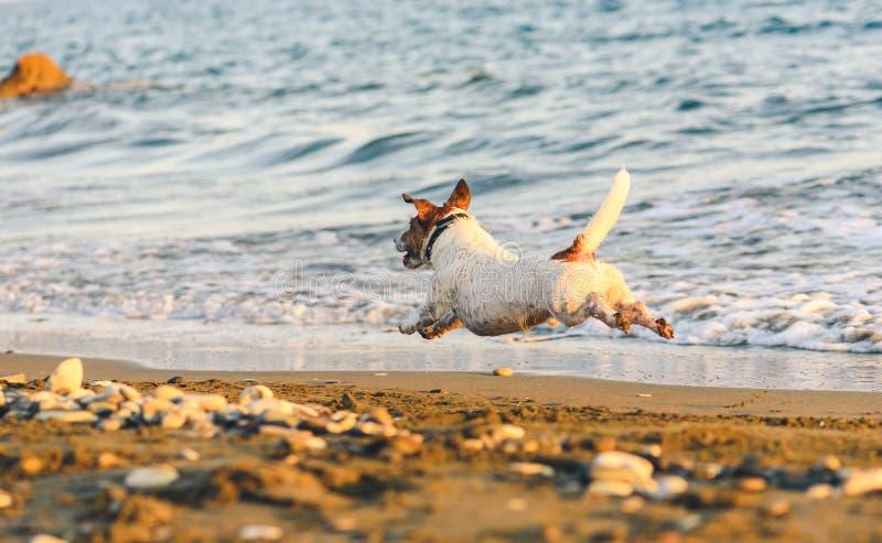 跑远离沿海滩和海波浪的照相机的愉快的狗排行 库存照片