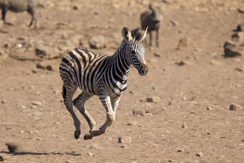 跑远离危险的斑马驹到妈妈 免版税库存照片
