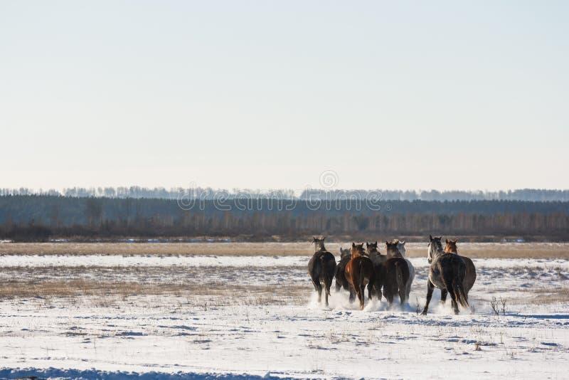 跑通过一个多雪的领域的马 免版税库存照片