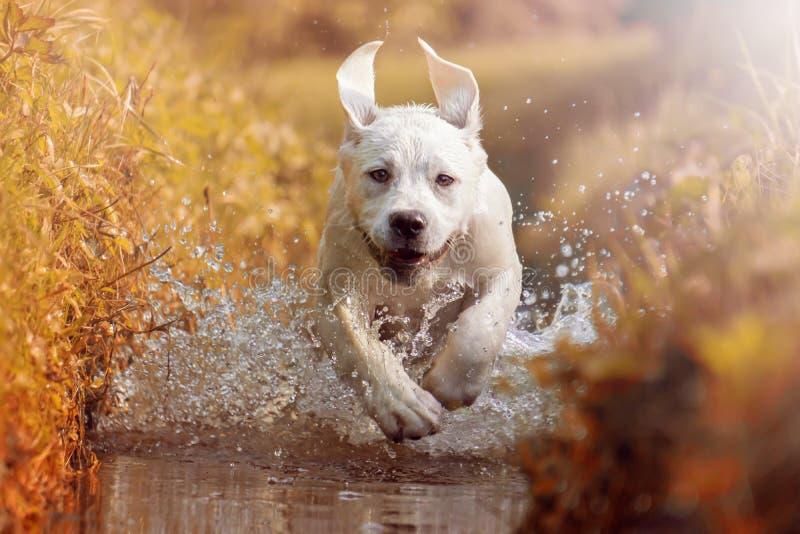 跑通过太阳的河的幼小拉布拉多狗小狗 库存图片