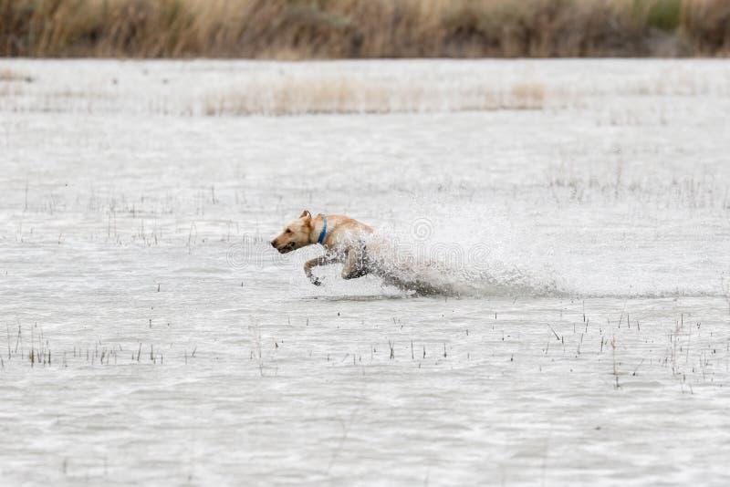 跑通过水的黄色拉布拉多猎犬在狩猎测试 免版税库存照片