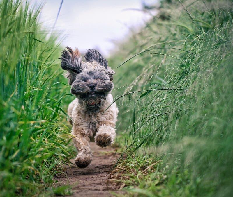 跑通过领域的滑稽和长毛的狗 库存照片