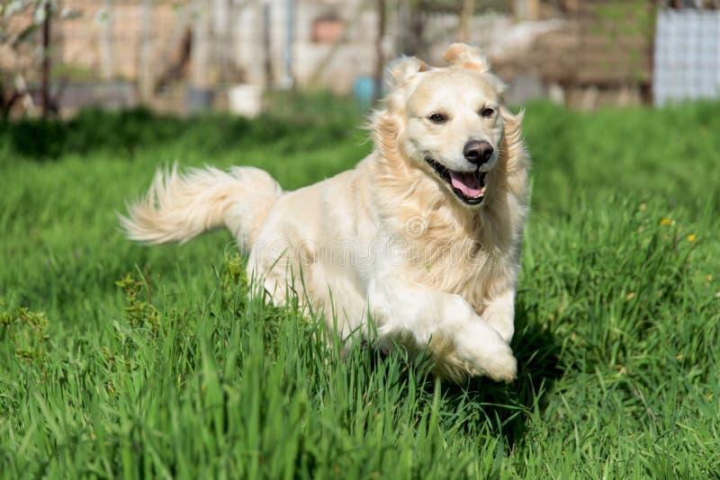 跑通过高草的愉快的金毛猎犬 库存图片