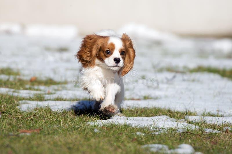 跑骑士国王查尔斯狗的狗户外 免版税库存照片
