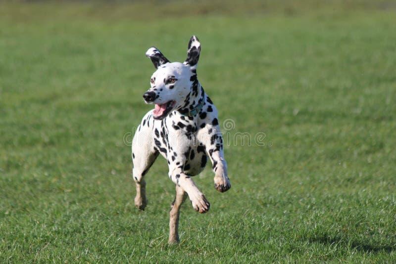 跑今后在草的达尔马提亚狗 图库摄影