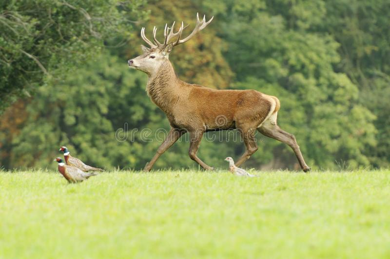 跑Rutting鹿的男性和观看 Knebworth公园 树秋天 免版税图库摄影