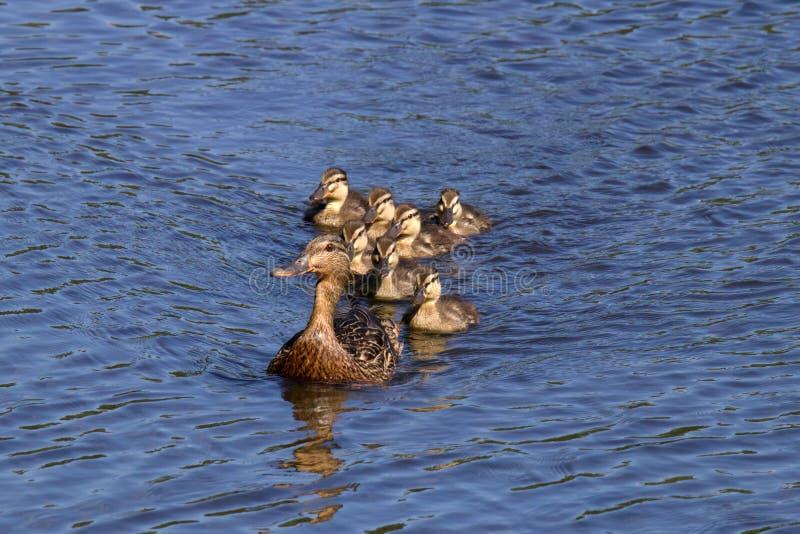 跟随的母亲鸭子 免版税库存图片