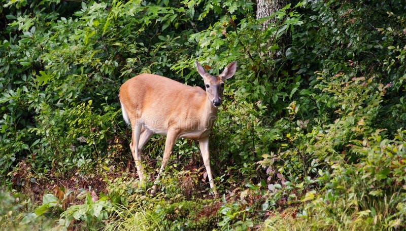 跨步在森林外面的母鹿白尾鹿 库存照片