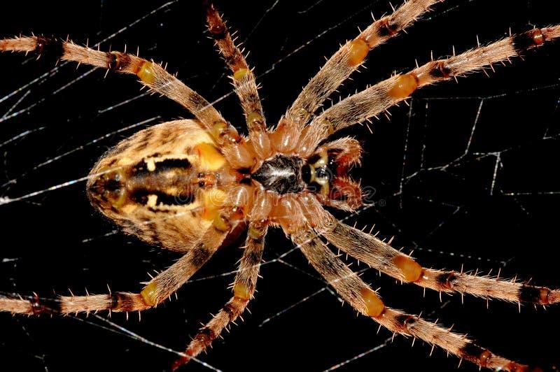 跨蜘蛛 免版税库存图片